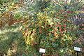 Ilex dimorphophylla - Quarryhill Botanical Garden - DSC03755.JPG