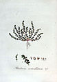 Illecebrum verticillatum — Flora Batava — Volume v3.jpg