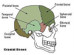 Image result for neurocranium