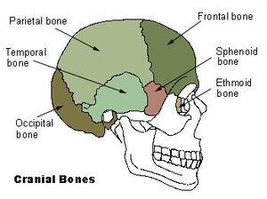 300px-Illu_cranial_bones2.jpg