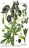 Illustration Aconitum napellus0 clean