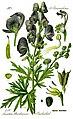 Illustration Aconitum napellus0 clean.jpg
