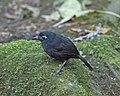 Immaculate Antbird (Myrmeciza immaculata) male (20640539338).jpg