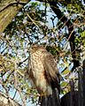 Immature coopers hawk 2.jpg