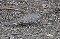Inca Dove (33839360852).jpg