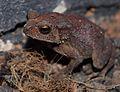 Indian Frog.jpg