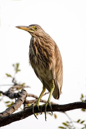 Indian pond heron - In non-breeding plumage