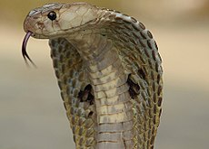 http://upload.wikimedia.org/wikipedia/commons/thumb/6/66/Indiancobra.jpg/230px-Indiancobra.jpg