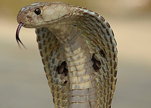 Cobra - Indian cobra, Naja naja in a defensive posture