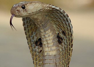 Cobra effect - The Indian Cobra