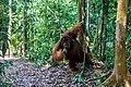 Indonesia - Bukit Lawang (26486883581).jpg