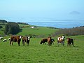 Inquisitive Cattle - geograph.org.uk - 417414.jpg