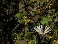 Iphiclides podalirius L. on Ribes aureum near Mykhalo-Larino village.jpg