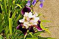 Iridaceae, Iris Hybride, Barbata-Elatior-Gruppe (9067238905).jpg