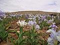 Iris aucheri community in Syria.jpg