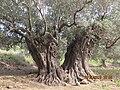 Israel Hiking Map עצי זית מהגדולים בארץ.jpeg
