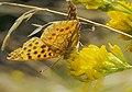 Issoria lathonia Kl Perlmuttfalter 160703-0791 TegelFließ SOOCx1.jpg
