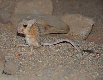 Lesser Egyptian jerboa - Lesser Egyptian jerboa