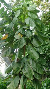 Jaguar Tree (Theobroma bicolor) 1.jpg