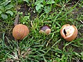 Japanese horse chestnuts.jpg