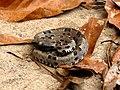 Jararaca (Bothrops pauloensis - Jovem).jpg