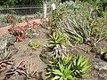 Jardín canario 36.JPG