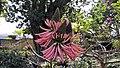 Jardín de Aclimatación de La Orotava - Erythrina speciosa Andrews var. rosea 30-01-2016 15-44-16.JPG