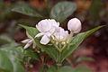 Jasminum sambac 20020400 1.jpg