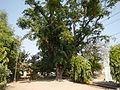 Jf9408Pterocarpus indicus Lubaofvf 18.JPG