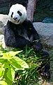Jia Jia - panoramio.jpg