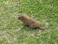 Jielbeaumadier marmotte commune 4 mtl 2006.jpeg