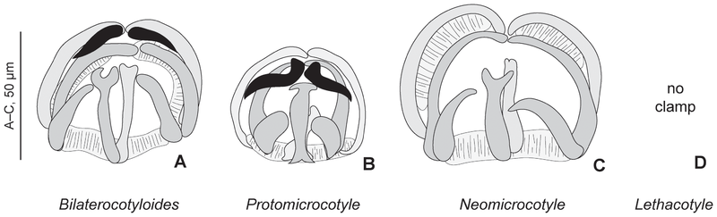 File:Journal.pone.0079155.g003 Clamps in various genera of Protomicrocotylidae.png