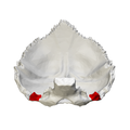 Jugular process of occipital bone - close-up06.png