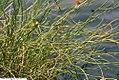 Juncus effusus Spiralis 4zz.jpg
