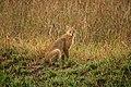 Jungle cat-.jpg