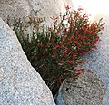 Justicia californica on the rocks.jpg