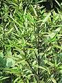 Justicia gendarussa - Willow-Leaf Justicia at Wayanad (7).jpg