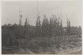 KITLV - 5479 - Kleingrothe, C.J. - Medan - Seed trees on a tobacco plantation of the Deli Maatschappij (Deli Company), Deli - circa 1915.tif