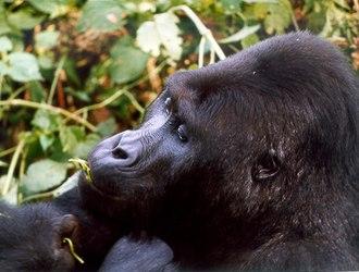Kahuzi-Biéga National Park - Image: Kahuzi Biega National Park 108207