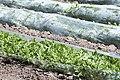 Karpuz tarlası - Watermelon field 03.jpg