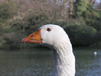 English: Keeping an eye on me This goose appea...