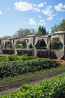 Planted rows with canopied tables behind