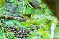 Kentucky warbler (41583456312).jpg