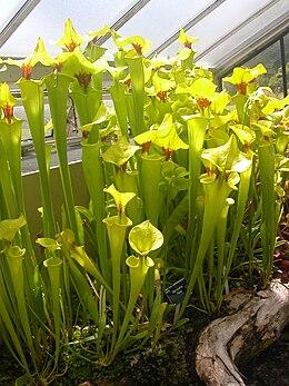 Kew Gardens - Sarracenia Flava