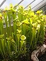Kew Gardens - Sarracenia Flava.JPG
