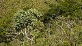 Kielmeyeria coriaceae em vegetação de cerrado.jpg