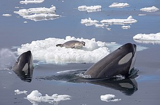 Killer Whales Hunting a Seal.jpg