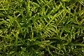 Kindbergia praelonga 99504545.jpg