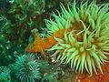 Klipfish at Partridge Point DSC09181.JPG