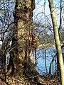 Knobbly Tree at Fonthill Lake - geograph.org.uk - 320628.jpg